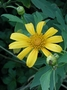 Asteraceae - Tithonia diversifolia