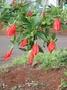 Malvaceae - Malvaviscus penduliflorus
