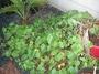 Convolvulaceae - Ipomoea tuboides