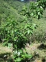 Rubiaceae - Kadua acuminata