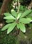 Amaranthaceae - Charpentiera densiflora