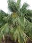 Arecaceae - Pritchardia martii