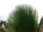 Arecaceae - Pritchardia perlmanii