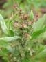 Amaranthaceae - Chenopodium murale