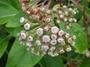 Asteraceae - Pluchea carolinensis