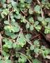 Euphorbiaceae - Euphorbia serpens