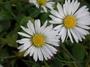 Asteraceae - Bellis perennis