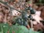 Araliaceae - Hedera helix