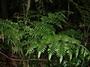 Marattiaceae - Angiopteris evecta