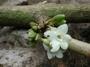 Gesneriaceae - Cyrtandra kaulantha