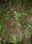 Gesneriaceae - Cyrtandra calpidicarpa