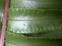 Lomariopsidaceae - Nephrolepis exaltata subsp. hawaiiensis