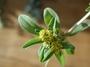Asteraceae - Flaveria trinervia