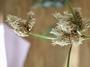 Cyperaceae - Bolboschoenus maritimus