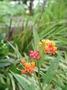 Apocynaceae - Asclepias curassavica