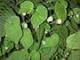 Begoniaceae - Begonia hirtella