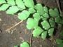 Pteridaceae - Adiantum raddianum