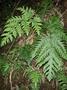 Tectariaceae - Tectaria gaudichaudii