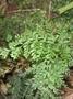 Hymenophyllaceae - Vandenboschia davallioides