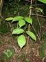 Phyllanthaceae - Bischofia javanica