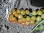 Verbenaceae - Citharexylum caudatum