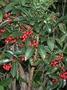 Primulaceae - Ardisia crenata