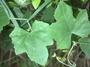 Cucurbitaceae - Coccinia grandis