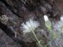 Asteraceae - Cyanthillium cinereum