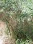 Poaceae - Bromus tectorum