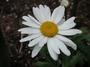 Asteraceae - Leucanthemum vulgare