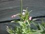 Onagraceae - Epilobium ciliatum subsp. ciliatum