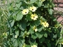 Acanthaceae - Thunbergia alata