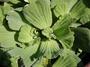 Araceae - Pistia stratiotes