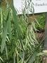 Poaceae - Avena sativa