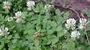 Fabaceae - Trifolium repens var. repens