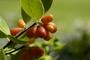 Thymelaeaceae - Wikstroemia pulcherrima