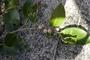 Moraceae - Ficus microcarpa