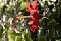 Malvaceae - Hibiscus rosa-sinensis