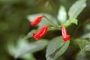 Acanthaceae - Ruellia brevifolia