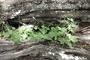 Nyctaginaceae - Boerhavia coccinea