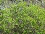 Goodeniaceae - Scaevola gaudichaudii