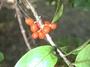 Rubiaceae - Coprosma kauensis
