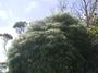 Primulaceae - Myrsine linearifolia