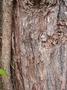 Myrtaceae - Lophostemon confertus