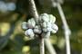 Pittosporaceae - Pittosporum napaliense