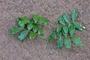 Fabaceae - Entada phaseoloides