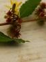 Malvaceae - Triumfetta semitriloba