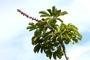 Araliaceae - Schefflera actinophylla