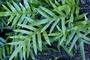 Polypodiaceae - Phymatosorus grossus