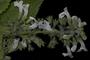 Lamiaceae - Phyllostegia helleri